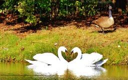 Cigno di forma del cuore Fotografia Stock Libera da Diritti