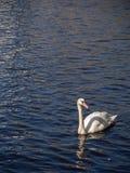 Cigno di nuoto nel lago Alster al giorno soleggiato a Amburgo, Germania Immagini Stock Libere da Diritti