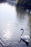 Cigno di Ouse del fiume Fotografia Stock