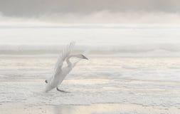 Cigno di tundra Fotografia Stock
