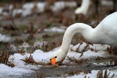 Cigno di tundra Fotografie Stock
