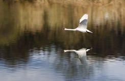 Cigno di volo Fotografia Stock Libera da Diritti