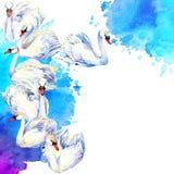 Cigno Disegno dell'acquerello del cigno Moltitudine del cigno royalty illustrazione gratis