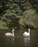 Cigno due sul fiume fotografia stock
