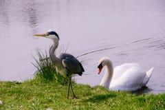 Cigno e Grey Heron Fotografia Stock Libera da Diritti