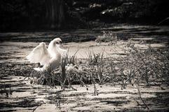Cigno e pulcini in nido Fotografia Stock