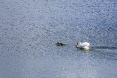 Cigno ed anatra su un lago Fotografia Stock