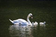 Cigno ed i suoi giovani al parco di St James Fotografie Stock Libere da Diritti