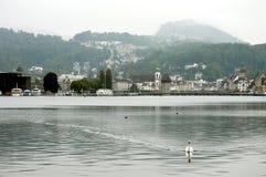 Cigno in erba medica del lago Fotografia Stock Libera da Diritti