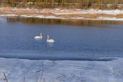 Cigno-familiy nell'inverno sul lago fotografia stock