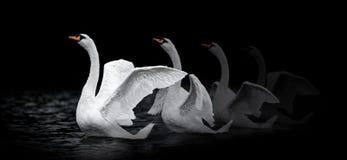 Cigno femminile che allunga sull'acqua scura Immagine Stock Libera da Diritti