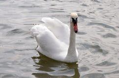 Cigno grazioso bianco sulla superficie di acqua immagini stock