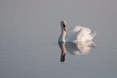 Cigno grazioso riflesso sulla superficie dell'acqua fotografia stock libera da diritti