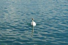 Cigno il lago Lemano Fotografia Stock