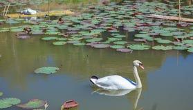 Cigno in lago con loto Immagine Stock