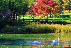 Cigno, lago ed acero Fotografie Stock