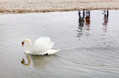 Cigno a Leman Lake Geneva Lake Fotografia Stock Libera da Diritti