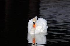 Cigno maschio Fotografia Stock Libera da Diritti
