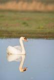 Cigno muto bianco Immagini Stock