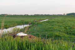 Cigno muto bianco sul nido Fotografia Stock