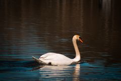 Cigno muto che nuota da solo su un lago fotografie stock