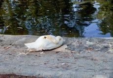 Cigno muto che riposa nell'erba in Reina Sofia Park, del Segura di Guardamar spain Immagini Stock Libere da Diritti