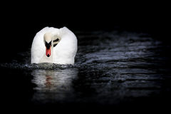 Cigno muto che si avvicina nella posizione di minaccia fotografia stock