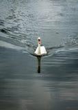 Cigno muto in lago fotografie stock libere da diritti