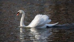 Cigno muto, olor del Cygnus, uccello bianco del cigno Fotografia Stock