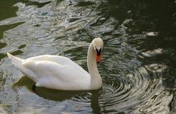 Cigno nel lago Immagini Stock Libere da Diritti