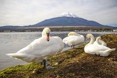 Cigno nel lago Yamanaka Fotografia Stock