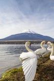 Cigno nel lago Yamanaka Immagini Stock Libere da Diritti