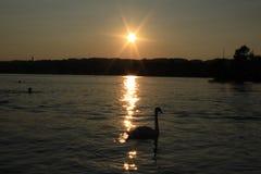 Cigno nel tramonto Immagine Stock Libera da Diritti