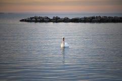 Cigno nel tramonto Fotografia Stock Libera da Diritti
