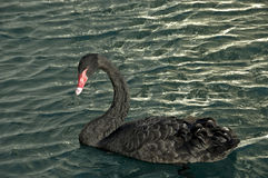 Cigno nero. fotografia stock libera da diritti