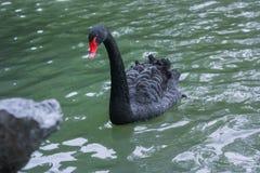 Cigno nero in acqua verde Fotografia Stock Libera da Diritti