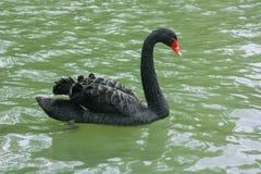 Cigno nero in acqua verde Fotografie Stock