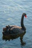 Cigno nero che galleggia sul lago Immagini Stock Libere da Diritti