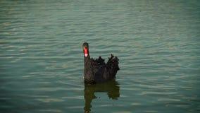 Cigno nero che galleggia sull'acqua Il cigno ha abbassato il suo naso nell'acqua Superficie variopinta dell'acqua La Russia, Kras archivi video