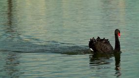 Cigno nero che galleggia sull'acqua Il cigno nero galleggia rapidamente sulla superficie dell'acqua La Russia, Krasnodar, tedesco stock footage