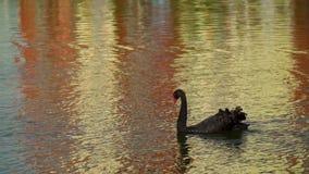 Cigno nero che galleggia sull'acqua Il cigno tocca le piume rosse del becco Superficie variopinta dell'acqua La Russia, Krasnodar archivi video
