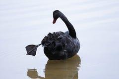 Cigno nero con la sua gamba fuori Fotografia Stock Libera da Diritti
