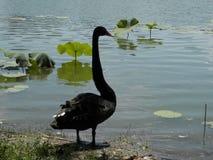 Cigno nero del parco di Pechino Fotografie Stock Libere da Diritti