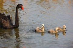 Cigno nero ed il suo bambino Immagini Stock
