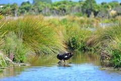 Cigno nero in uno stagno in Travis Wetland Nature Heritage Park in Nuova Zelanda Immagini Stock