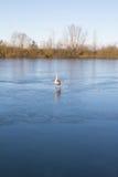 Cigno pattinante a re Village del lago Fotografia Stock Libera da Diritti