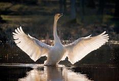 Cigno selvatico che spande le sue ali fotografia stock libera da diritti