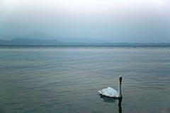 Cigno solo nel lago garda, Italia Immagine Stock