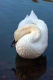 Cigno sonnolento su un lago Fotografie Stock