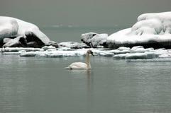 Cigno su ghiaccio Fotografie Stock Libere da Diritti